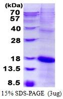 AR50503PU-N - KLRC2 / CD159c