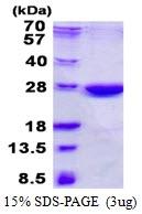AR50508PU-N - NHEJ1 / Protein cernunnos