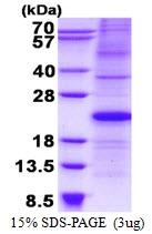 AR50549PU-N - CDKN1A / p21WAF1