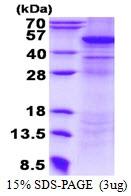 AR50550PU-N - UQCRC2 (Complex III subunit Core 2)