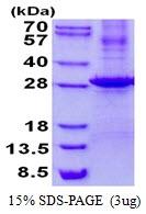 AR50561PU-N - KLK7 / Kallikrein-7