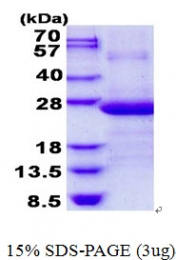 AR50627PU-N - AP3 complex subunit sigma-1 / AP3S1
