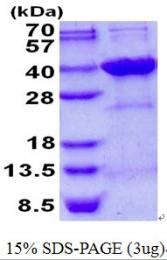 AR50648PU-N - Syntenin-2 / SDCBP2