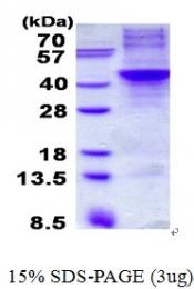 AR50656PU-N - Apolipoprotein H / Apo H