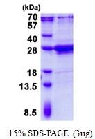 AR50683PU-N - Amelogenin