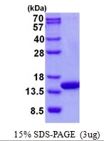 AR50691PU-N - Complex IV subunit Va