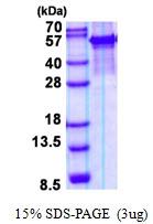 AR50709PU-N - Arylsulfatase G