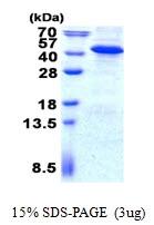AR50713PU-N - Inositol monophosphatase 3 / IMPA3