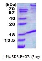 AR50714PU-N - CD178 / Fas Ligand