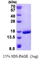 AR50748PU-N - Prion protein 2 / PRND