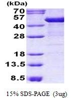 AR50763PU-N - Cytokeratin 19