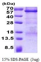 AR50777PU-N - Carboxypeptidase E