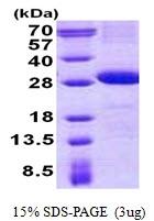 AR50778PU-N - CD226 / DNAM1