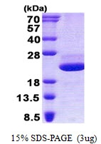 AR50805PU-N - Galectin-related protein / GRP