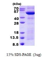 AR50806PU-N - Synaptotagmin-4