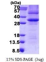 AR50811PU-N - Prohibitin / PHB