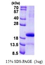 AR50831PU-N - Glycodelin / PAEP