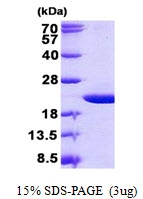 AR50858PU-N - Olfactory marker protein