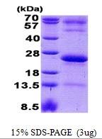 AR50863PU-N - Immunoglobulin J chain