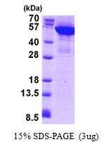 AR50900PU-N - Cytokeratin 8