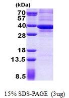 AR50961PU-N - ATP synthase subunit gamma