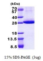 AR50996PU-N - Stomatin / STOM