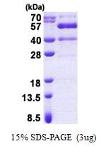 AR51027PU-N - Synaptotagmin-13