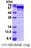 AR51037PU-N - Secretogranin-3 (SCG3)