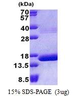 AR51054PU-N - Hemoglobin theta-1 chain