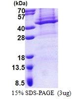 AR51088PU-N - Apolipoprotein L4 / ApoL4