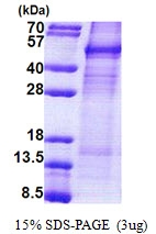 AR51101PU-N - Cyclin I