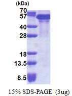 AR51149PU-N - TIF1-beta / TRIM28
