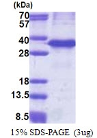AR51152PU-N - Cathepsin Z