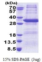 AR51168PU-N - Syntaxin 17 / STX17