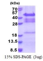 AR51200PU-N - QKI / Protein quaking