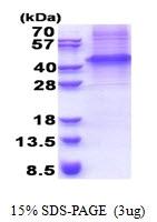 AR51219PU-N - GFRA3 / GDNFR-alpha 3