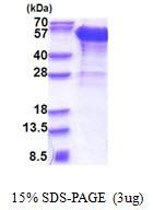 AR51259PU-N - Dynactin subunit 2