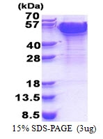 AR51270PU-N - Dynactin subunit 2