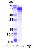 AR51310PU-N - Dynactin subunit 2