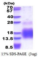 AR51355PU-N - Metallothionein-3