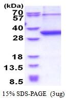 AR51359PU-N - Neurexophilin-1