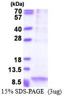 AR51374PU-N - Apolipoprotein C I / ApoC1