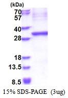 AR51378PU-N - KLK15 / Kallikrein-15