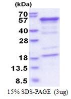 AR51381PU-N - Hemopexin / HPX
