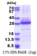 AR51392PU-N - Neuronal acetylcholine receptor subunit alpha-6