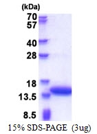 AR51399PU-N - Calponin-2