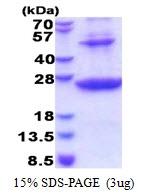 AR51405PU-N - HLA class II DR beta 1 / HLA-DRB1
