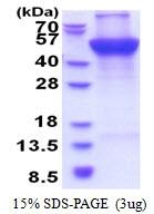 AR51414PU-N - UQCRC1 (Complex III subunit core 1)