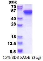 AR51419PU-N - Cytokeratin 16