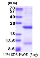 AR51436PU-N - Glypican-4 (GPC4)